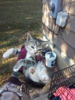Other Cats for sale in Farmville, VA 23901, USA. price: NA