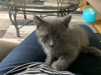 Other Cats for sale in Orland Hills, IL 60477, USA. price: NA