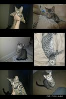 Other Cats for sale in 1707 Canopy Oaks Dr, Orange Park, FL 32065, USA. price: NA