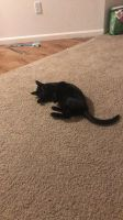 Other Cats for sale in Holland, MI 49423, USA. price: NA