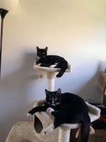 Other Cats for sale in Mechanicsburg, PA, USA. price: NA