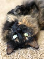 Other Cats for sale in Fountain, CO, USA. price: NA