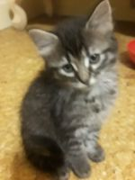 Other Cats for sale in Baytown, TX, USA. price: NA