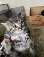 Other Cats for sale in Portland, OR, USA. price: NA