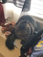 Other Cats for sale in Bakersfield, CA 93312, USA. price: NA