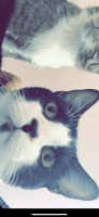 Other Cats for sale in Bloomington, IL, USA. price: NA