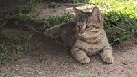Other Cats for sale in Ramsey, MN 55303, USA. price: NA