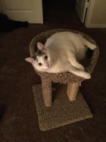 Other Cats for sale in Las Vegas, NV 89123, USA. price: NA