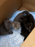 Other Cats for sale in The Bronx, NY, USA. price: NA