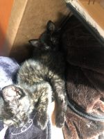 Other Cats for sale in 3364 Page Ave, Blairsburg, IA 50034, USA. price: NA