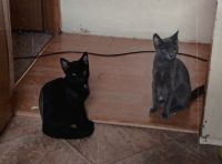 Other Cats for sale in Columbia, MO 65201, USA. price: NA