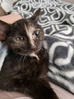 Other Cats for sale in Loveland, OH, USA. price: NA