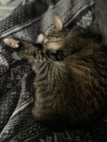Other Cats for sale in Syracuse, NY, USA. price: NA