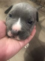 Other Puppies for sale in Long Beach, CA, USA. price: NA