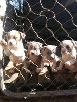 Other Puppies for sale in 220 Tom Jones Rd, Lucedale, MS 39452, USA. price: NA