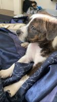Other Puppies for sale in Goodyear, AZ, USA. price: NA