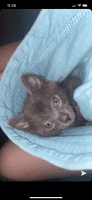 Other Cats for sale in Gering, NE 69341, USA. price: NA
