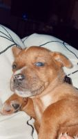 Other Puppies for sale in 113 Royal Troon Ct, Greer, SC 29650, USA. price: NA