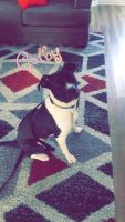 Other Puppies for sale in Smyrna, TN, USA. price: NA