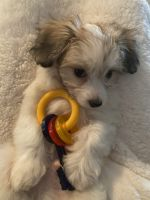 Other Puppies for sale in Peoria, AZ, USA. price: NA