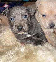 Other Puppies for sale in Tucson, AZ, USA. price: NA