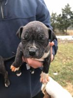 Other Puppies for sale in Lexington, KY, USA. price: NA