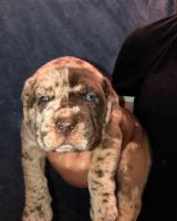 Other Puppies for sale in Winchendon, MA, USA. price: NA