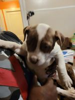 Other Puppies for sale in Columbia, SC 29203, USA. price: NA