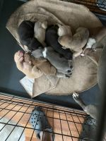 Other Puppies for sale in Gainesville, AL 35464, USA. price: NA