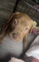 Other Puppies for sale in 1220 Micha Way, Madison, GA 30650, USA. price: NA