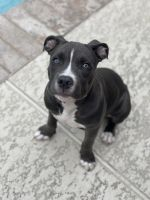 Other Puppies for sale in Houston, TX, USA. price: NA