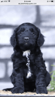 Other Puppies for sale in Litchfield, CT, USA. price: NA