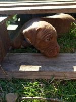 Other Puppies for sale in Mena, AR 71953, USA. price: NA