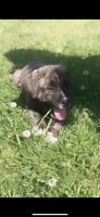 Other Puppies for sale in Jonesboro, GA, USA. price: NA