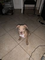 Other Puppies for sale in North Miami, FL, USA. price: NA