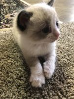 Other Cats for sale in Lodi, CA, USA. price: NA