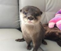 Otter Animals for sale in Panorama City, Los Angeles, CA, USA. price: NA