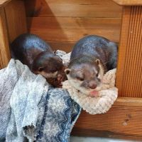 Otter Animals for sale in Los Angeles, CA, USA. price: NA