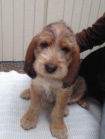 Otterhound Puppies for sale in Bellevue, WA, USA. price: NA