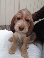Otterhound Puppies for sale in Annapolis, MD, USA. price: NA