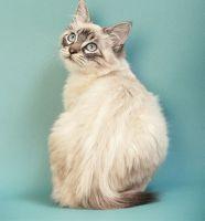 owyhee bob cat