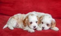 Pachon Navarro Puppies Photos