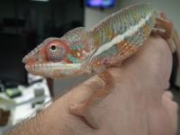 Panther Chameleon Reptiles for sale in Laguna Hills, CA, USA. price: NA