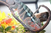 Panther Chameleon Reptiles for sale in Citrus Heights, CA 95621, USA. price: NA