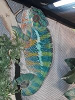 Panther Chameleon Reptiles for sale in Center Line, MI, USA. price: NA
