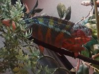 Panther Chameleon Reptiles for sale in Warren, MI, USA. price: NA