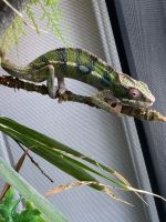 Panther Chameleon Reptiles for sale in Wakefield, South Kingstown, RI 02879, USA. price: NA