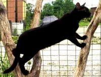 pantherette cat