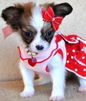 Papillon Puppies for sale in Springfield, IL, USA. price: NA