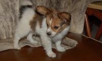 Papillon Puppies for sale in Coral Springs, FL, USA. price: NA